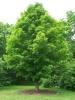 עץ אדר - מייפל